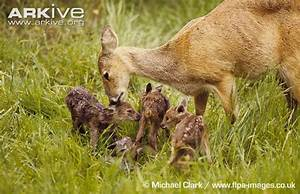 Chinese water deer photo - Hydropotes inermis - G36742 ...
