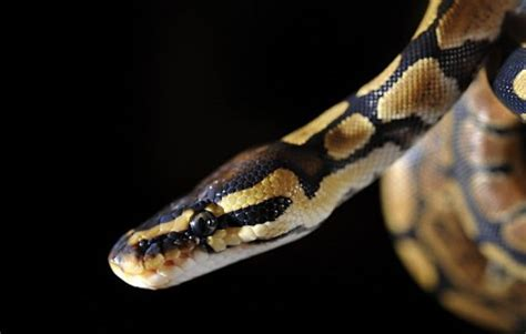 ball python heat l off at night snakes may be in decline worldwide study