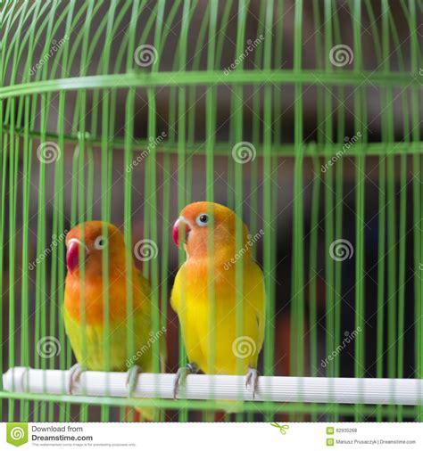 the laughing parakeet royalty free stock image