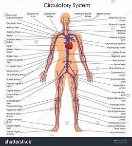 Medical Education Chart Biology Circulatory System Stock
