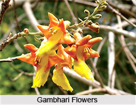 gambhari indian medicinal plant