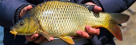 cuisiner carpe guide des poissons peut on consommer la carpe