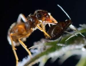 Ameisen Mit Flügel : ameisen versklaven blattl use holger r del fotografie ~ Buech-reservation.com Haus und Dekorationen