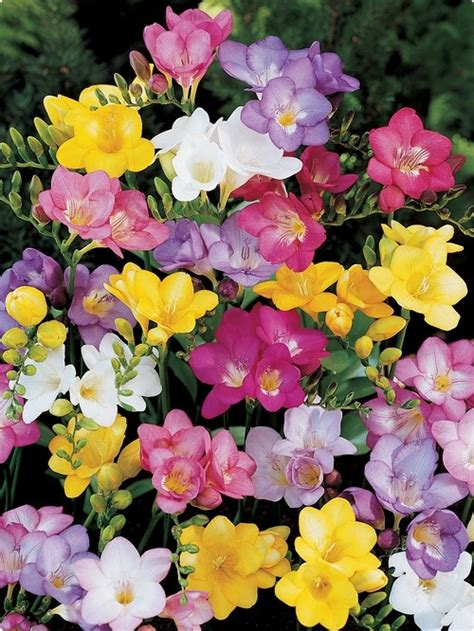bourgondien bulbs 23 best images about flower freesia mix on pinterest gardens delphiniums and ranunculus
