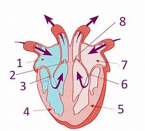 Printable Heart Diagram | Diagram Site