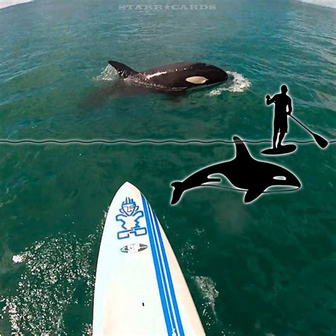 Close Encounters Of The Paddle Boarding Kind With Orcas