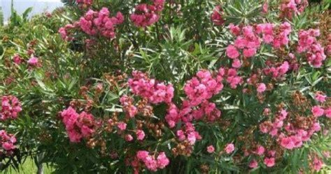 tanaman hias pelindung jual pohon oleander