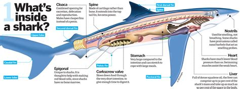 image result  shark anatomy shark week shark dogfish shark species  sharks