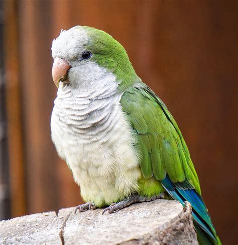 quaker parakeet quaker parakeet care animal humane society