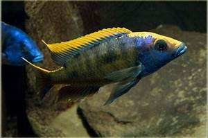 Buy Live Aristo Yellow Blaze (zimbabwe rock) Otopharynx ...