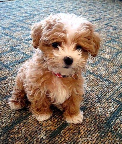 Top 5 Dog Breeds That Don't Shed Poodles Are One Of Best