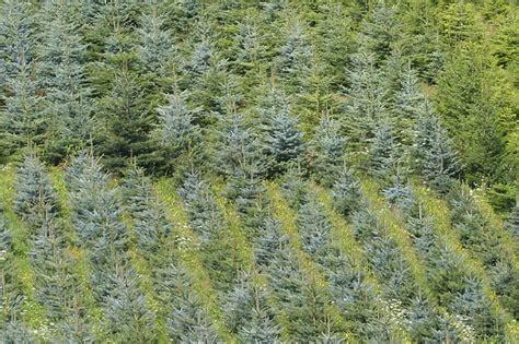 tannenbaum selber schlagen bonn weihnachtsbaum bonn poppelsdorf europ 228 ische weihnachtstraditionen