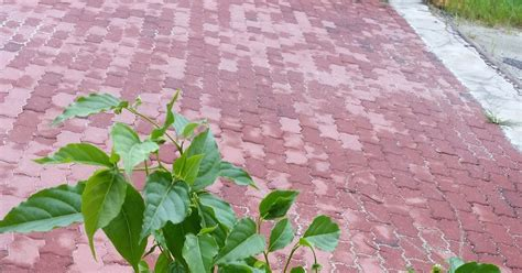 warisan petani pokok kenanga