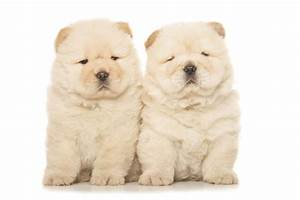 White Chow Chow Dog   www.pixshark.com - Images Galleries ...