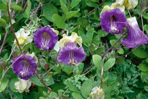 cathedral bells vine cobaea scandens vine 10 seeds cathedral bells cup saucer