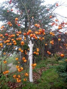 la bonne cuisine de a à z kaki plaqueminier un arbre fruitier decoratif