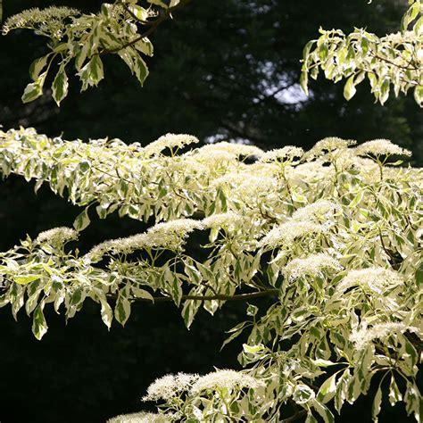 buy wedding cake tree cornus controversa variegata