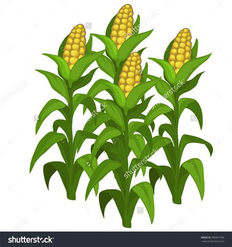 Corn Clip Maize Cultivation Clipart Clipground