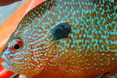 pumpkinseed sunfish oregon department  fish wildlife