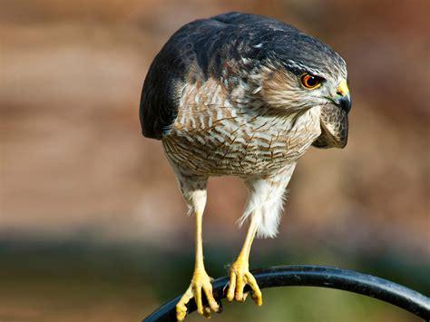 sharp shinned hawk audubon field guide