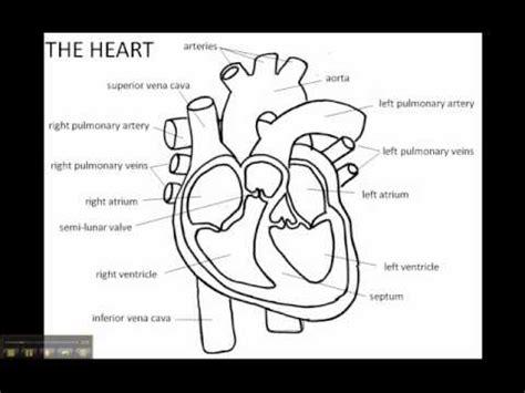 human heart sketch diagram   clip art