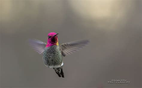 flying hummingbird wallpapers hd wallpapers id