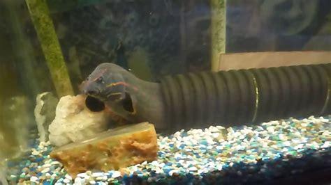 eel freshwater aquarium  aquarium ideas