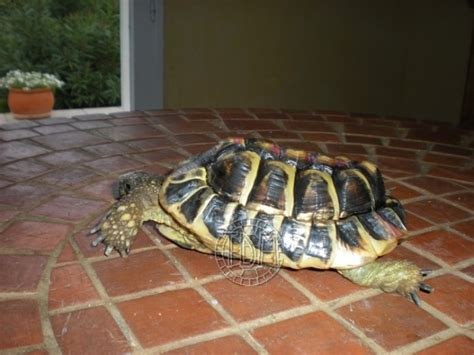 les maladies principales chez les tortues