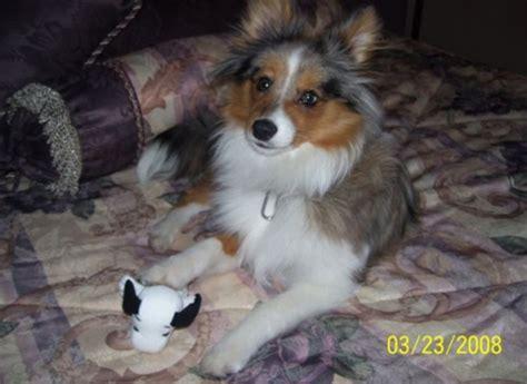 poshies pomeranian  sheltie dog mix pictures