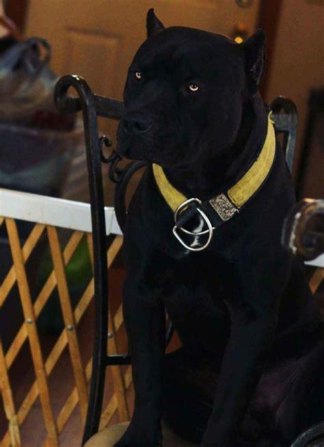 pin von zecret truex auf dawg zyez schwarze hunde hunde
