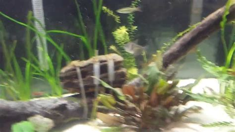 breed corydoras catfish doovi