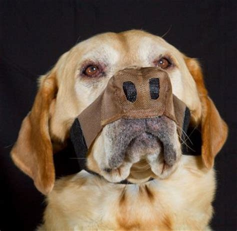 sunburnt dog nose  labrador forum