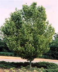 trident maple tree Trident Maple - Acer buergeranum