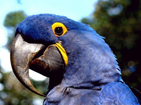 Arara Azul  Anodorhynchus Hyacinthinus  Ana Ama Arara