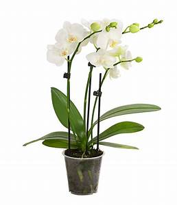 Orchideen Ohne Topf : midi schmetterlingsorchidee wei dehner ~ Eleganceandgraceweddings.com Haus und Dekorationen