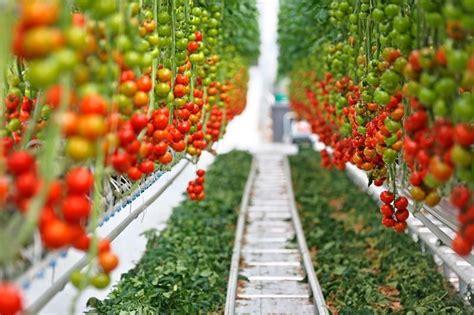 lade al sodio per coltivazione indoor coltivare pomodori con la luce led 232 possibile