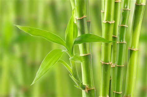 Bambus Der Sich Nicht Ausbreitet by Bambus Pflege Standort Pflanzen