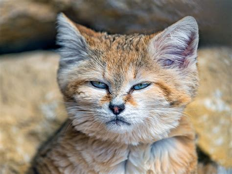 Animal Files  Sand Cats The Only Cats That Live In The