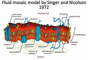 Summary Of Fluid Mosaic Model Of Plasma Membrane By Singer
