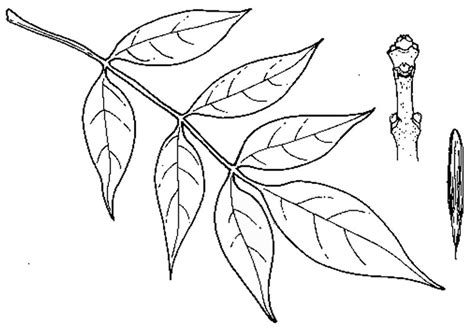 Ash Leaf Coloring Page Clipart Library