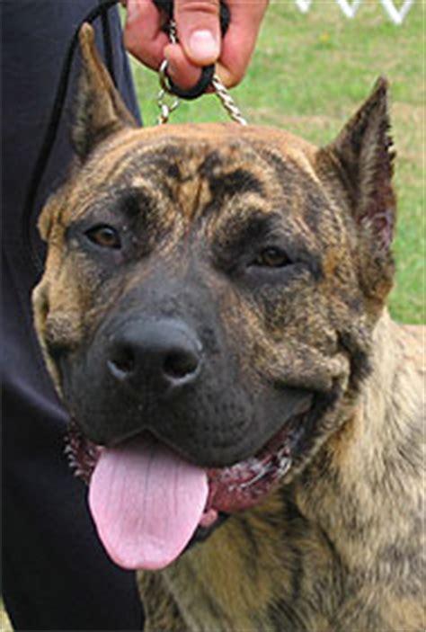 dogo canario dog working dog breeds    dog encyclopedia dogs  depthcom