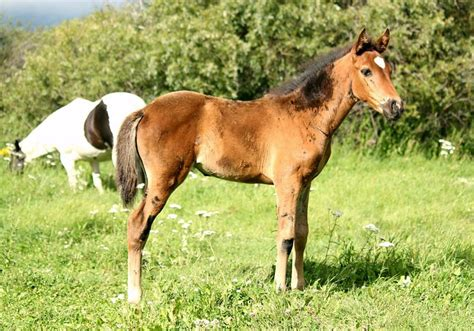 canada horse thoroughbred andalusian filly ad classifieds alberta horses tofield