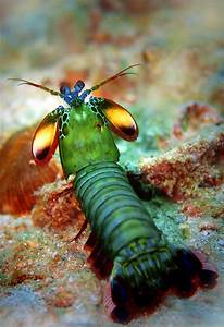 What Lurks Below  The Mighty Mantis Shrimp