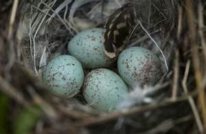 white crowned sparrow eggs | Birds | Pinterest