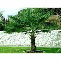 Mediterrane Bäume Winterhart : suchergebnis auf f r palme winterhart garten gardening garten palmen garten und ~ Frokenaadalensverden.com Haus und Dekorationen