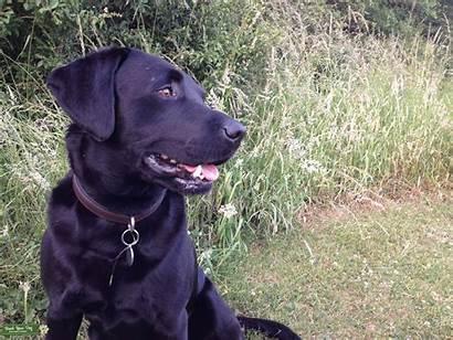 Labrador Close Stud Dog Breed Dogs