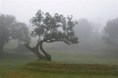 Laurel forest, Laurisilva of Madeira, Portugal, Landolia ...