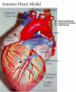 Models, Heart and Anatomy on Pinterest