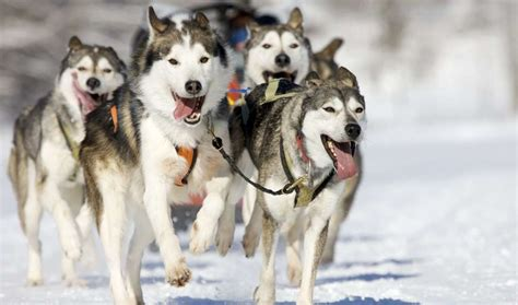 10 Warm Facts About Huskies | Mental Floss