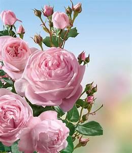 Rosen Kaufen Günstig : delbard kletter rose nah ma 1 pflanze g nstig online kaufen mein sch ner garten shop ~ Markanthonyermac.com Haus und Dekorationen
